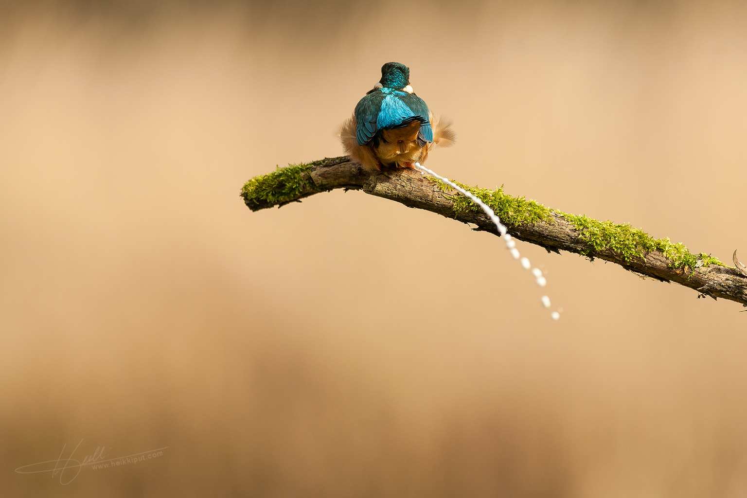 Excrementing Kingfisher  (Alcedo atthis)  on HeikkiPut.com - Nature & Wildlife Photography