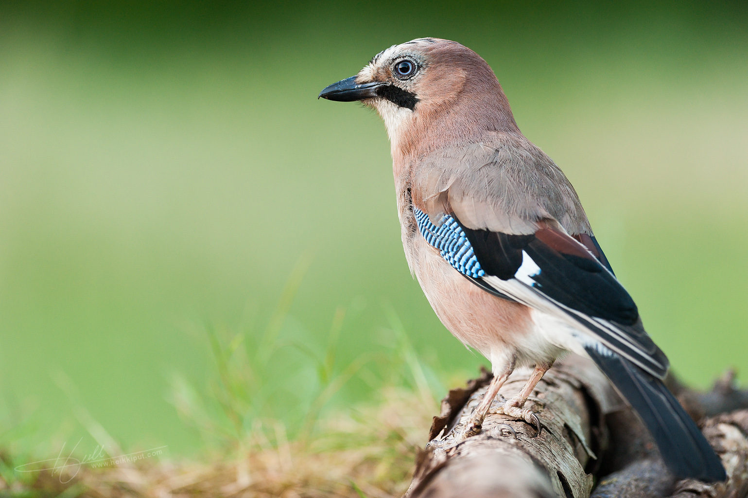 Portrait of a Eurasian Jay  (Garrulus glandarius)  on HeikkiPut.com - Nature & Wildlife Photography
