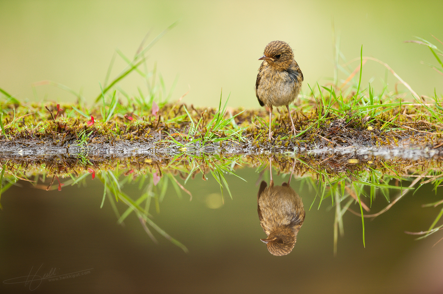 Juvenile European Robin discovering its reflection  (Erithacus rubecula) on HeikkiPut.com - Nature & Wildlife Photography