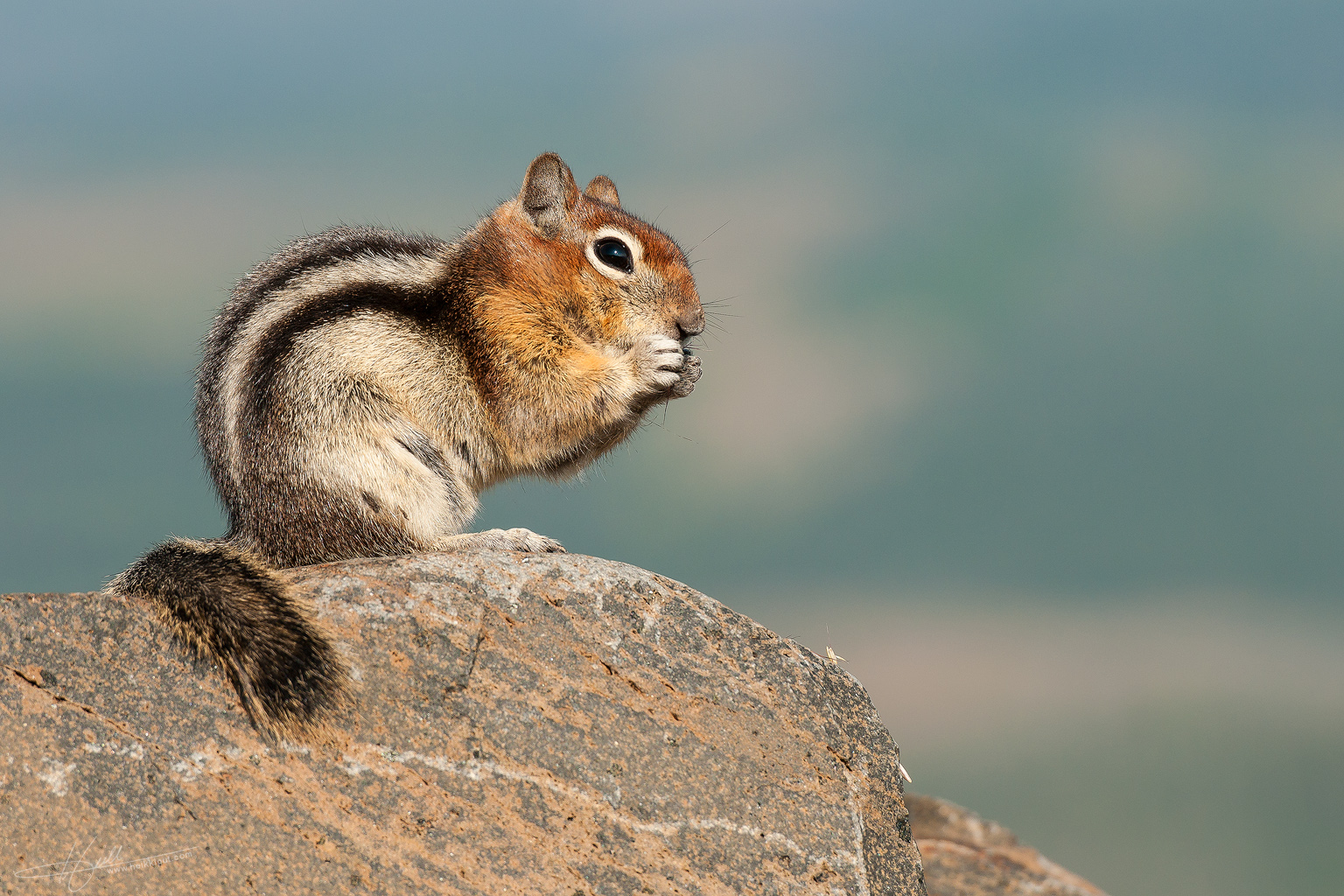 Golden-mantled ground squirrel  (Callospermophilus lateralis)  on HeikkiPut.com - Nature & Wildlife Photography