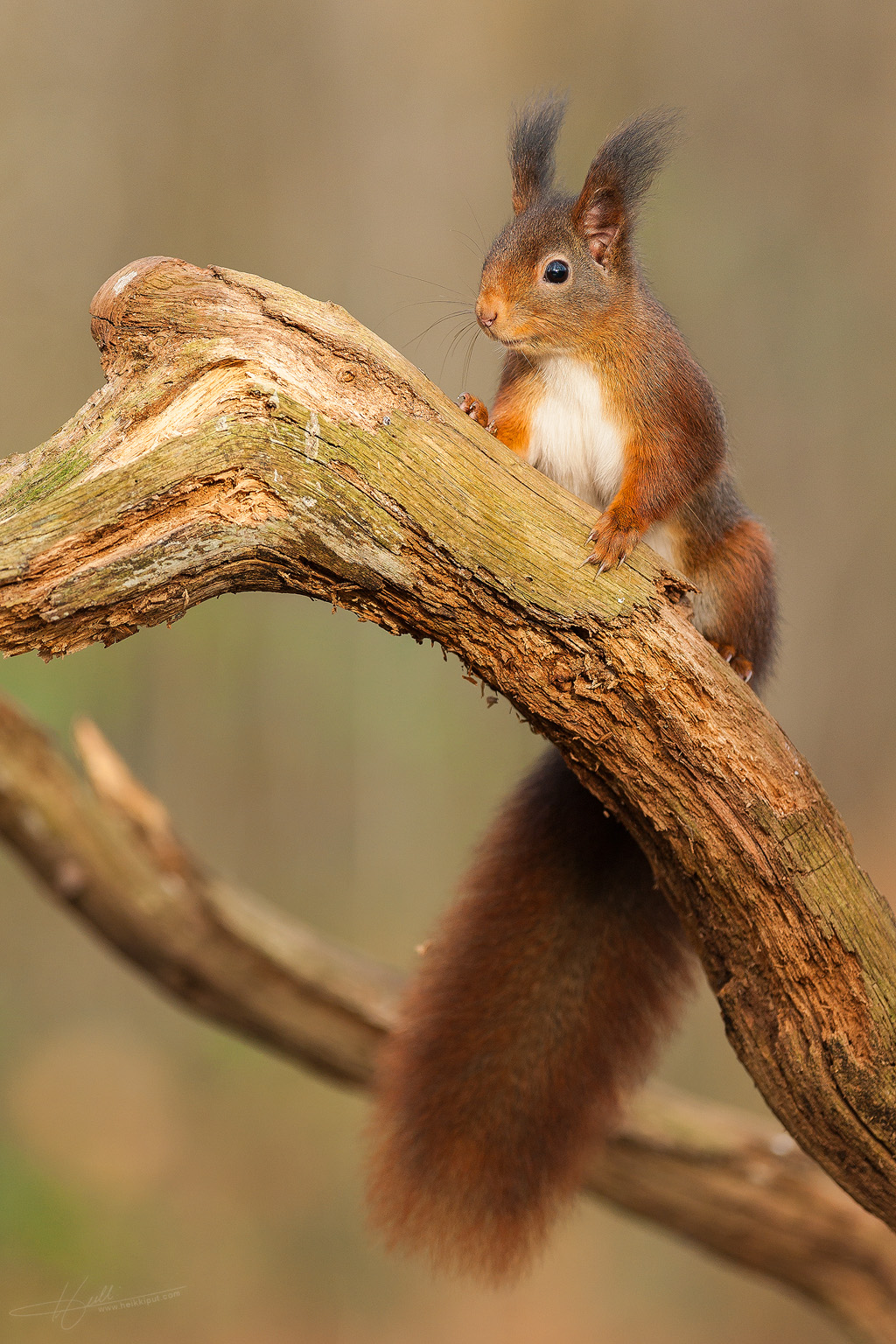 Portrait of a Red squirrel  (Sciurus vulgaris)  on HeikkiPut.com - Nature & Wildlife Photography